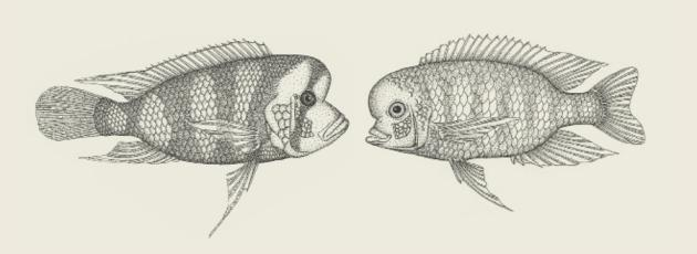 Ciclídeos do lago Tanganyika (esquerda) e do Lago Malawi (direita) evoluíram formas corporais semelhantes.