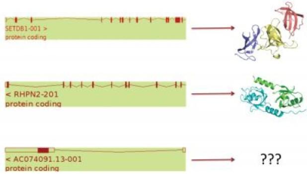 Ao contrário dos dois genes que codificam para proteínas mostrados (superior, médio), o ACO074091.13 gene (abaixo) está previsto para produzir nenhuma proteína e é provável que seja removido, juntamente com um 1.700 genes adicionais que estão atualmente na anotação do genoma humano. Crédito: CNIO