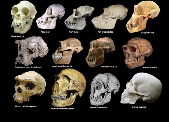 Símios, Antropóides ou Primata de grande porte.